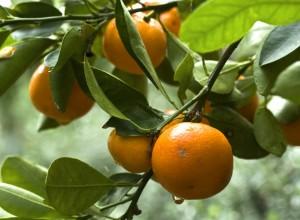 citricos ecologicos