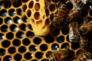 abejas creando panel extrae miel